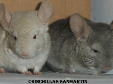 Imagen cedida por Chinchillas Sanmartín (beige homo izquierda y beige hetero derecha)