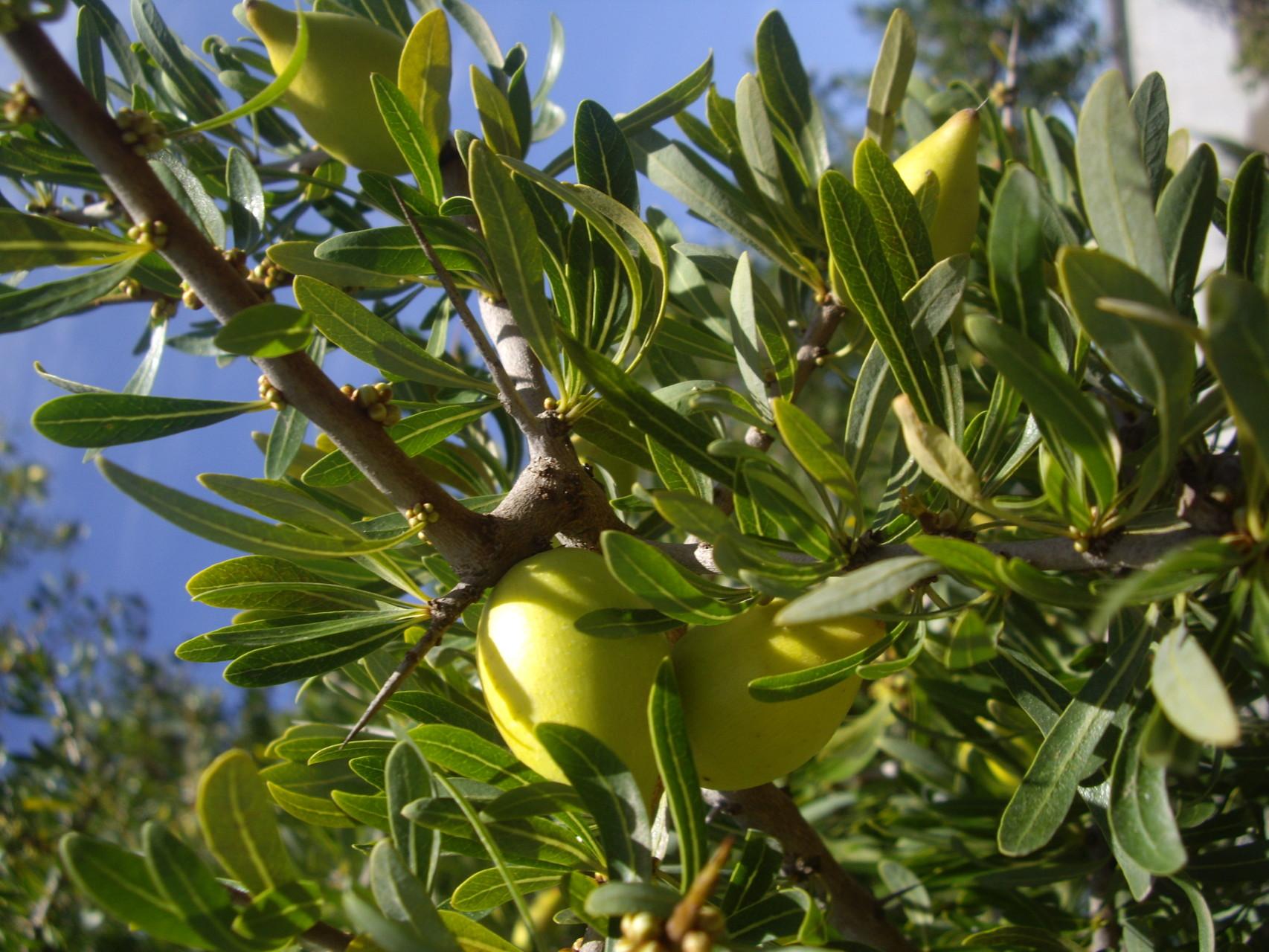 El fruto del Argán