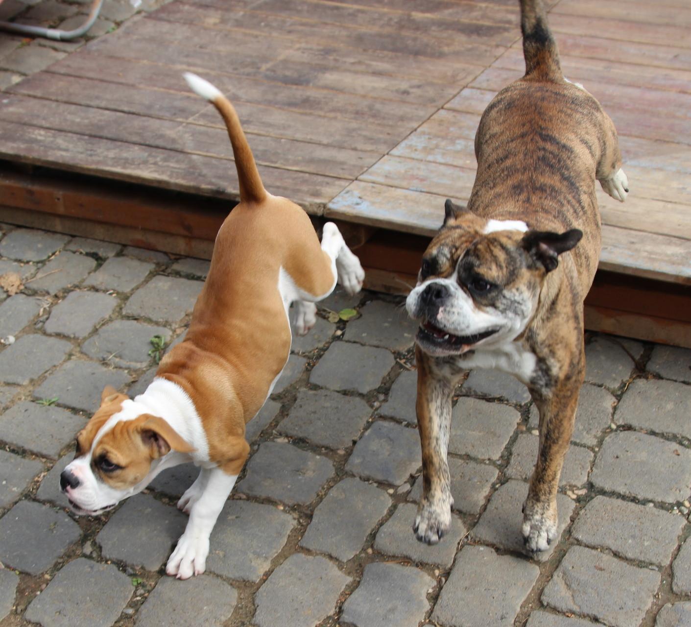 Continental Bulldog Emma und RosaLee