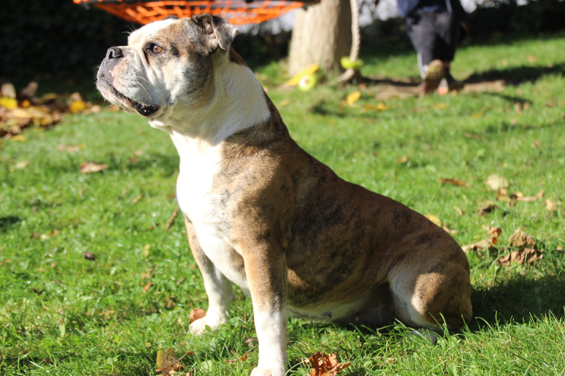 Continental Bulldog Conties Bijoux Bijoux