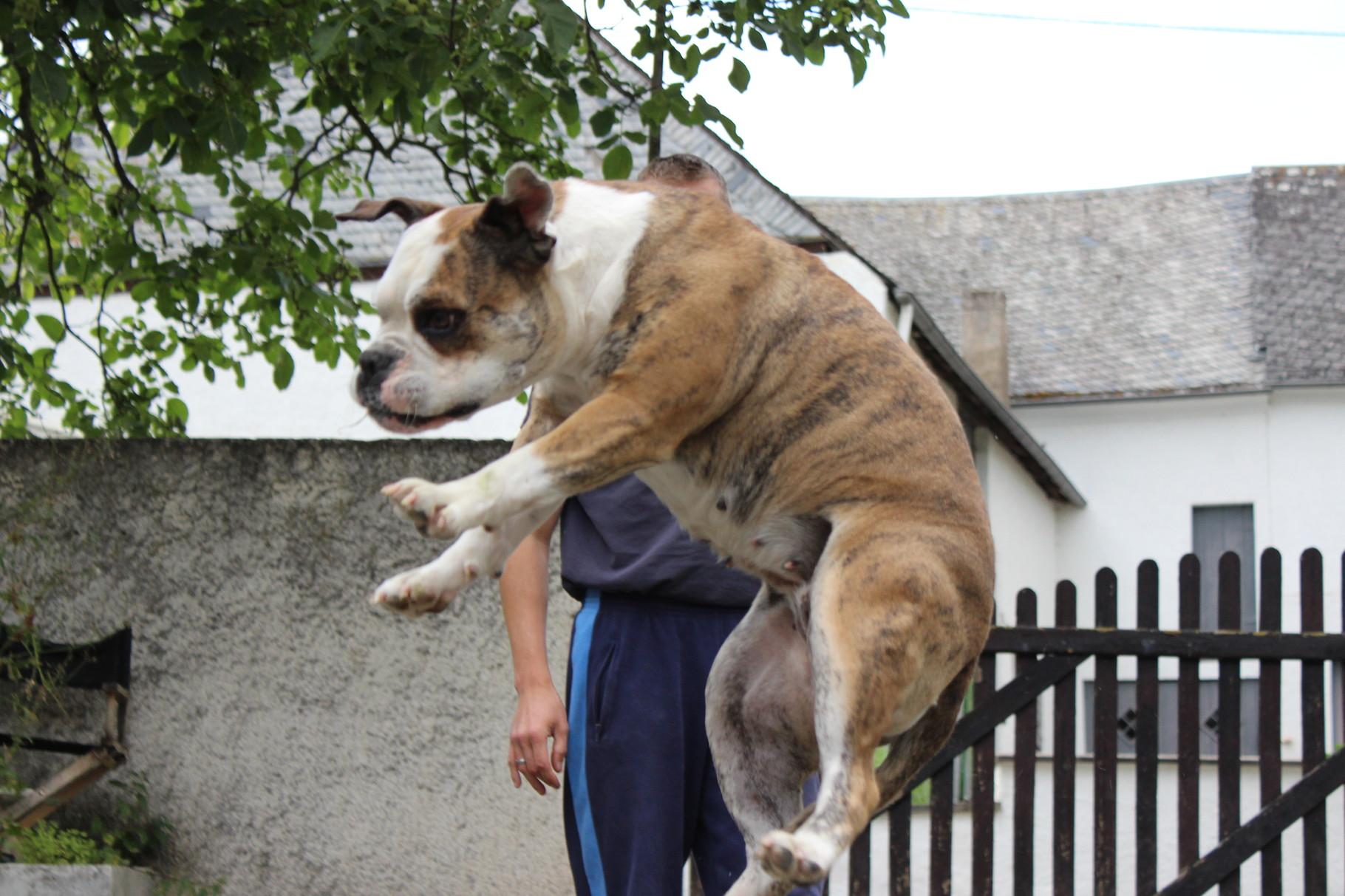 Continental Bulldog Conties Bijoux Bijoux macht Luftsprünge