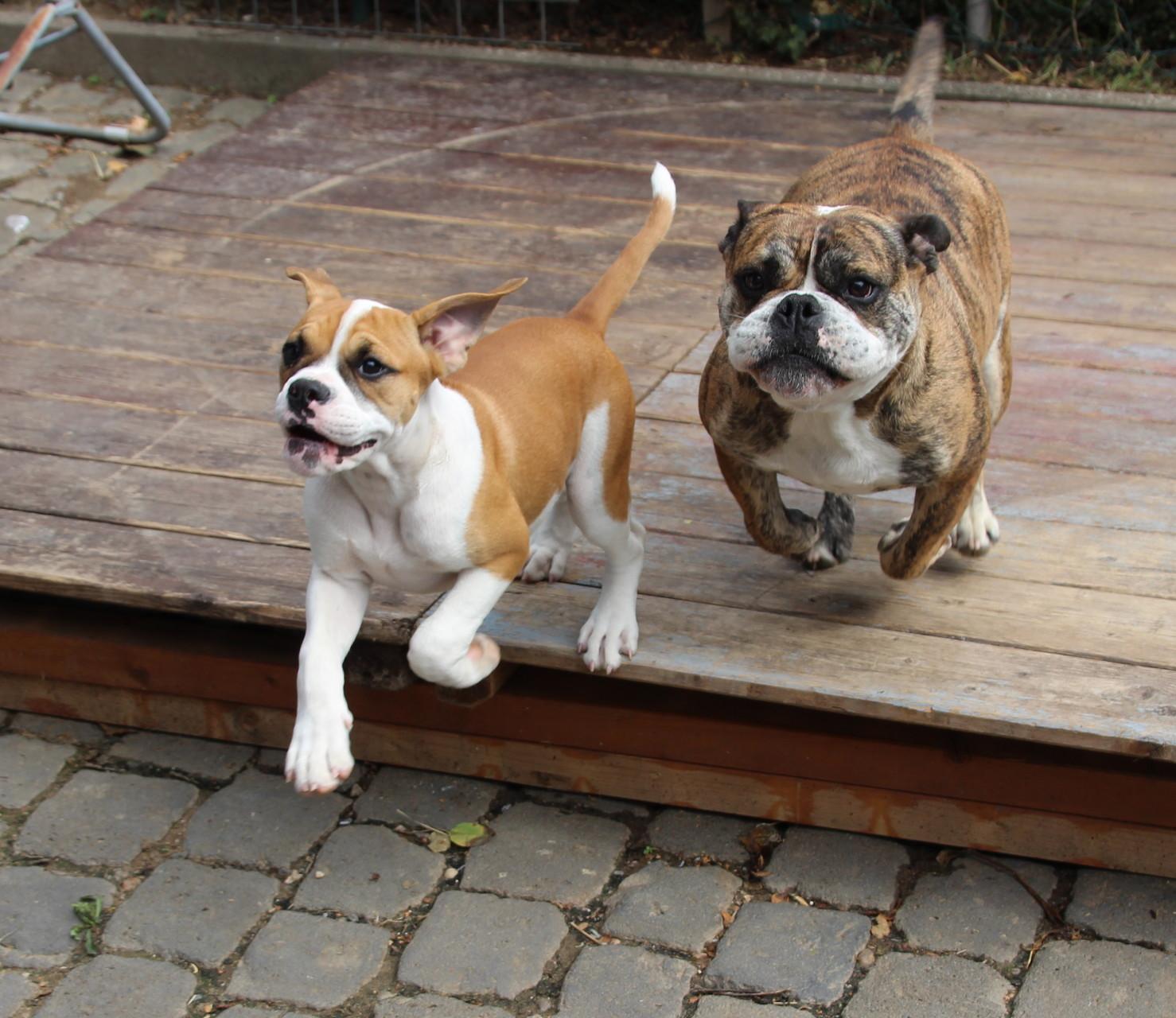 Continental Bulldog Emma mit RosaLee