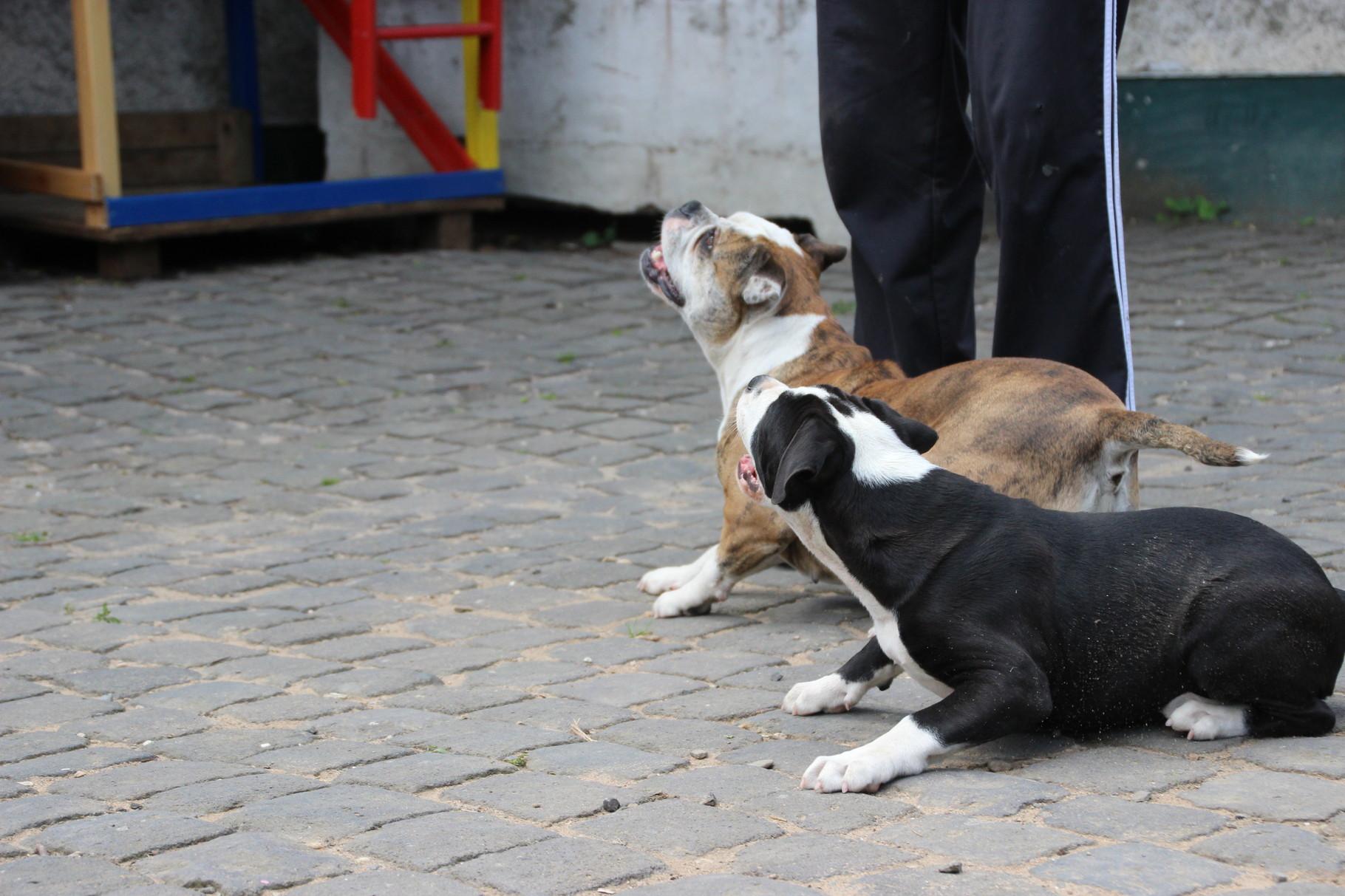 Continental Bulldog Conties Bijoux Bijoux  mit Indiana