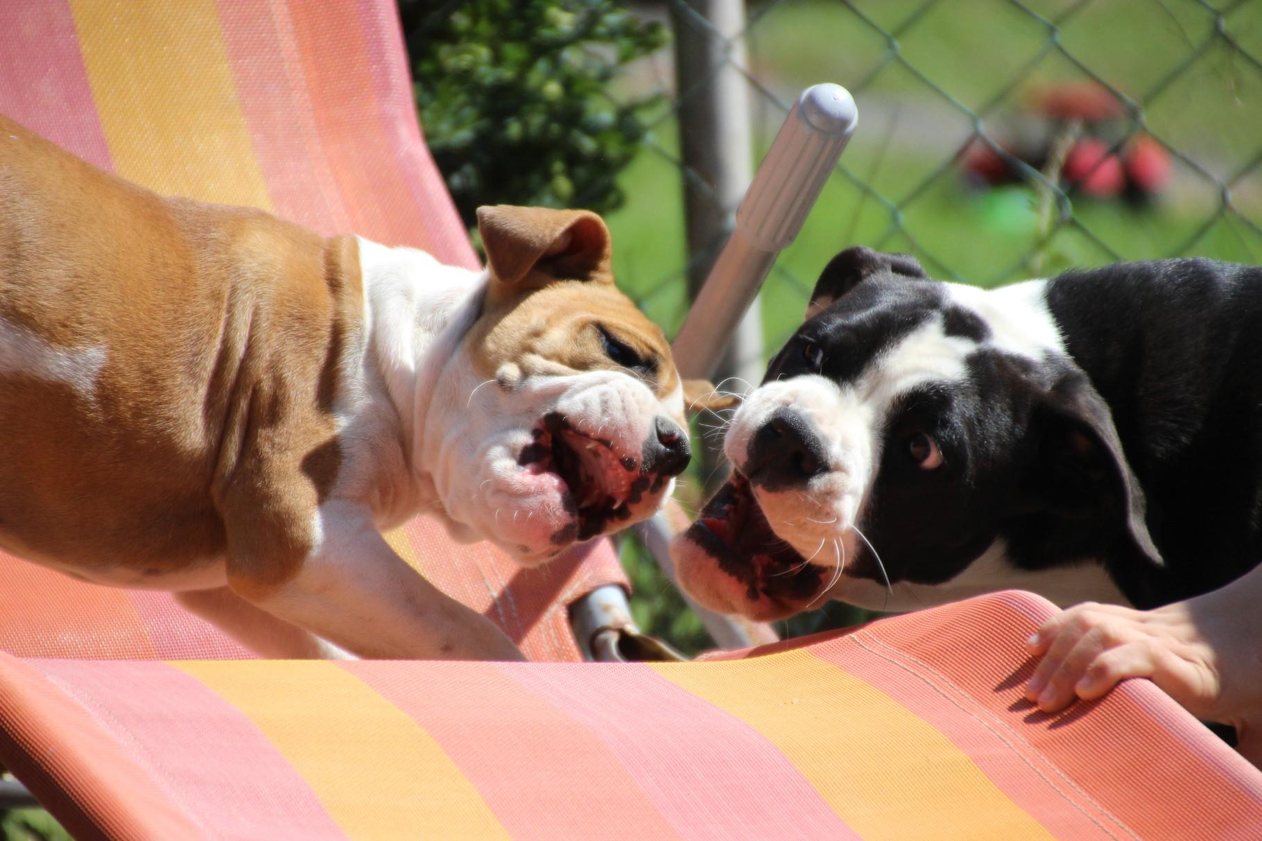 Continental Bulldog Conties Bijoux Indiana und Pickwick RosaLee beim spielen