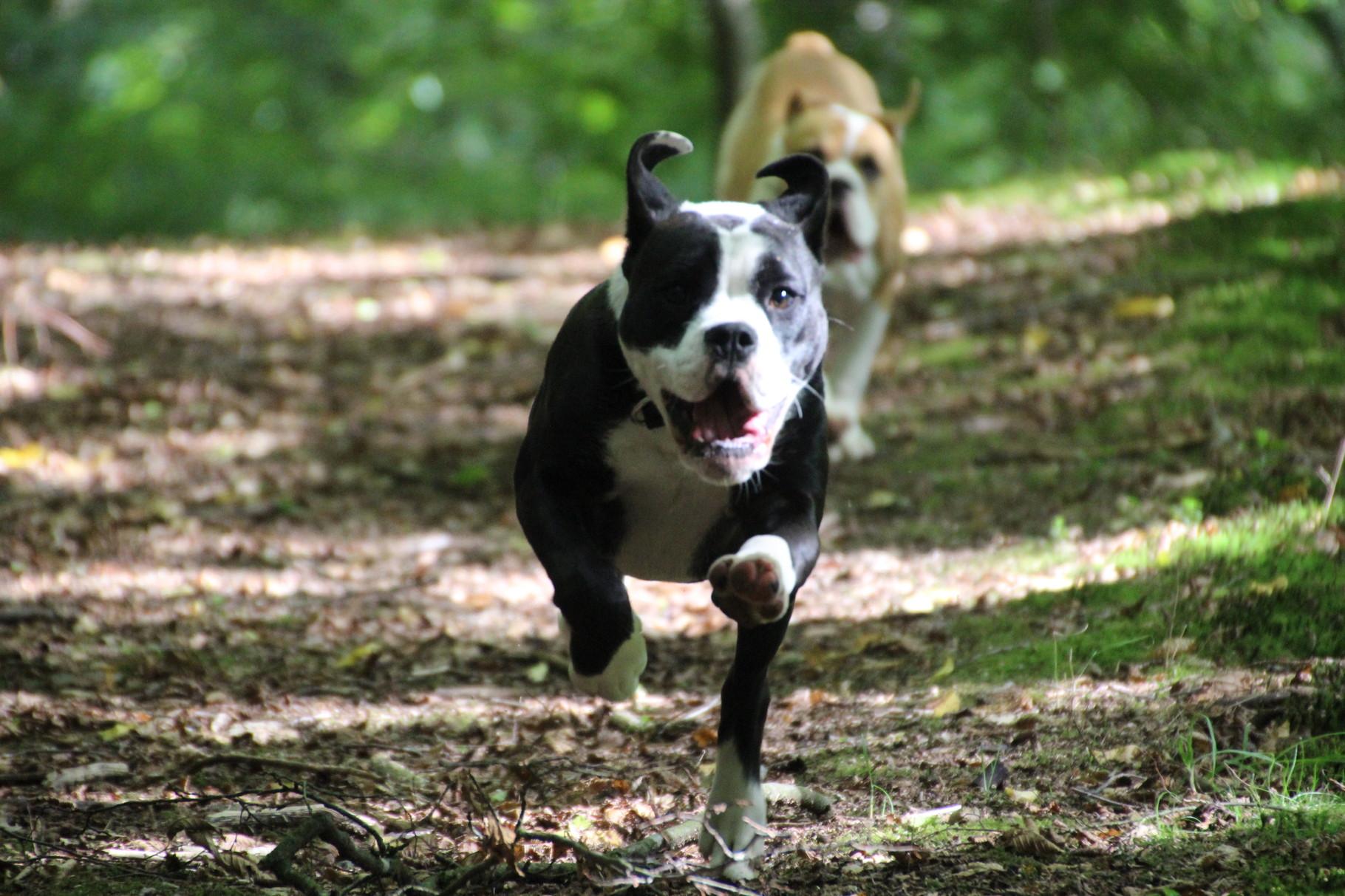 Continental Bulldog Indiana und RosaLee