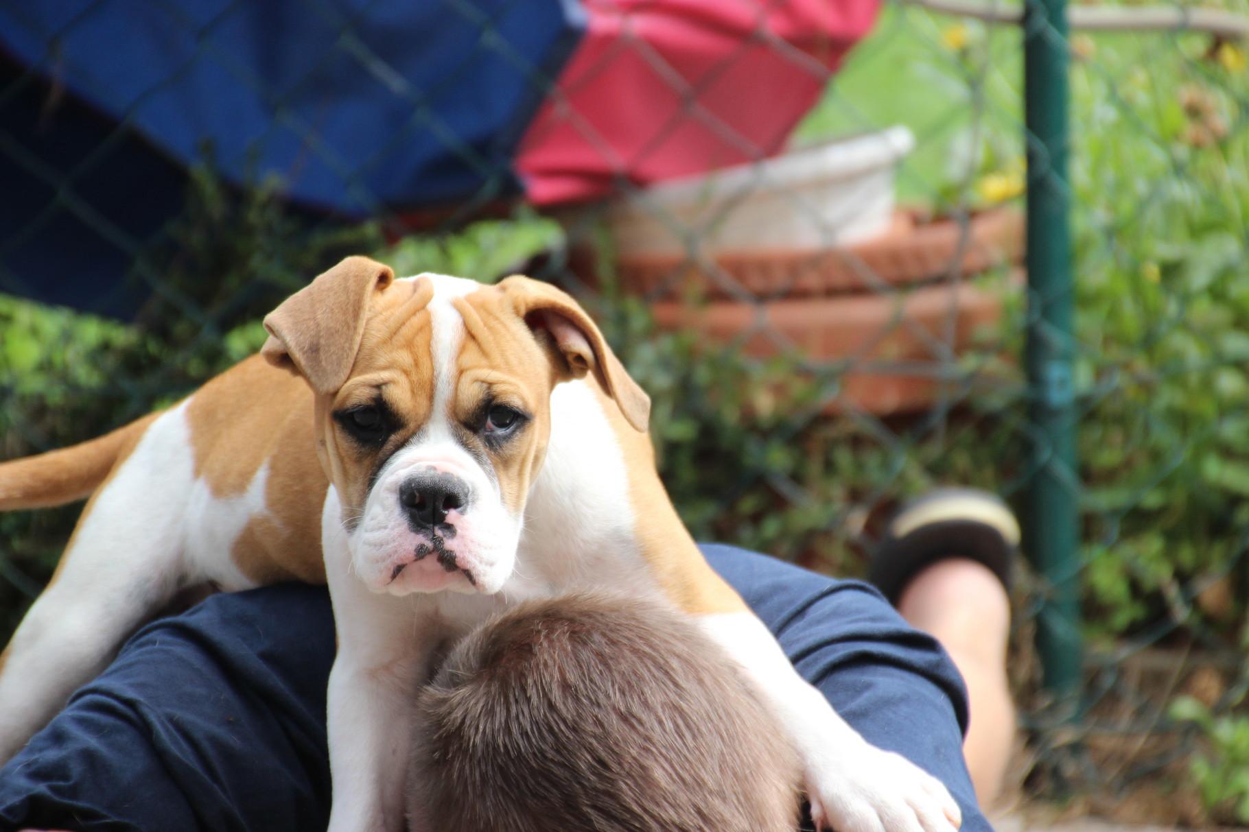 Continental Bulldog Pickwick RosaLee oben auf