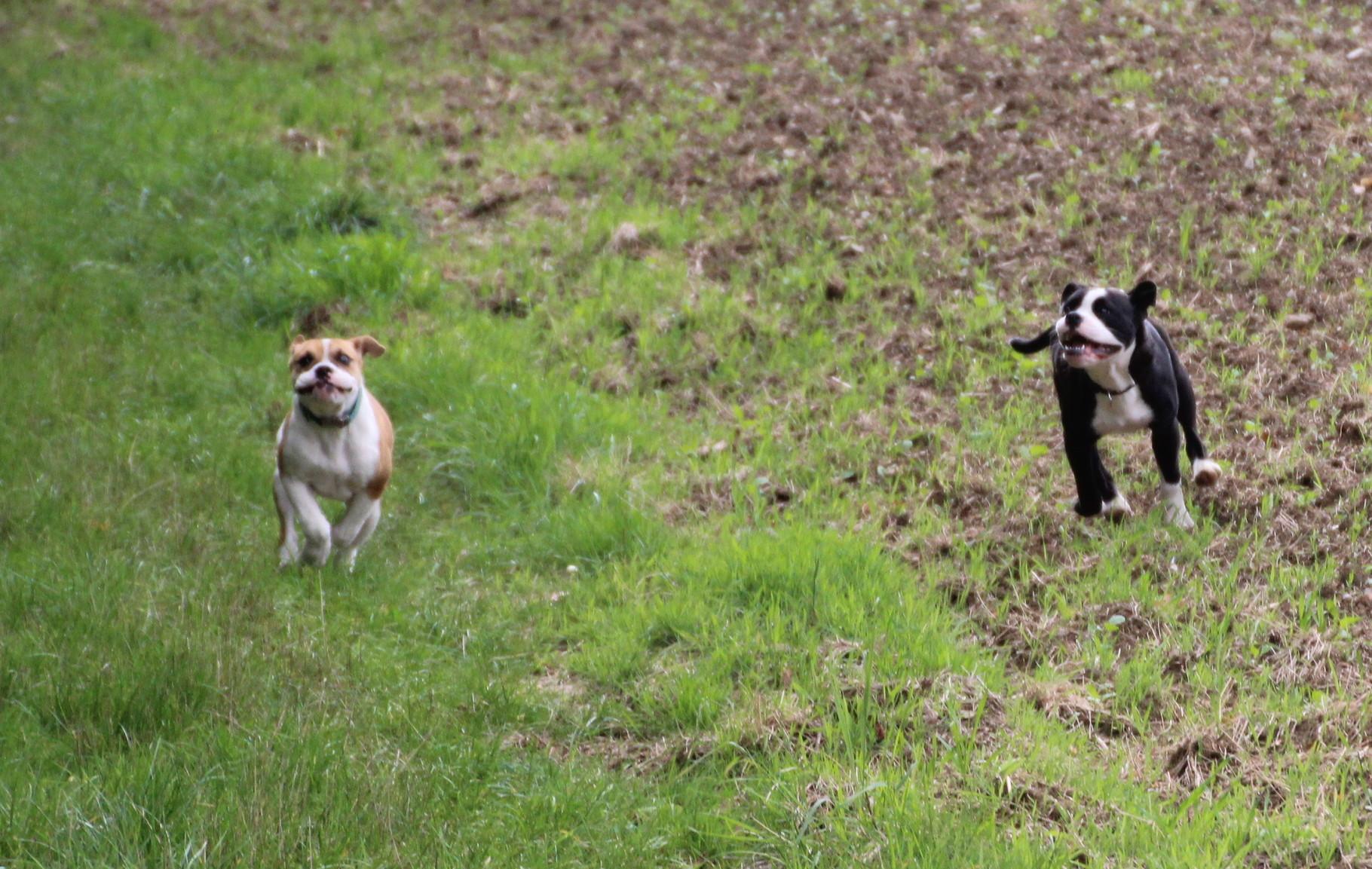 Continental Bulldog Indiana mit RosaLee