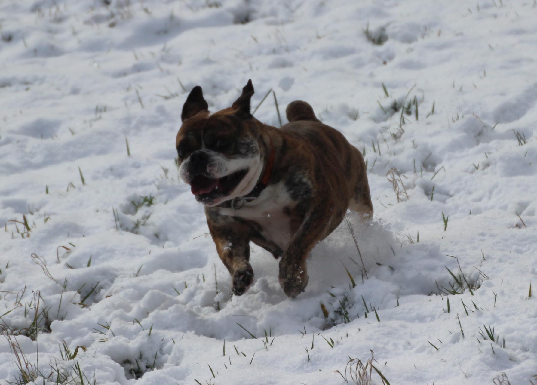 Continental Bulldog Conties Bijoux Emma