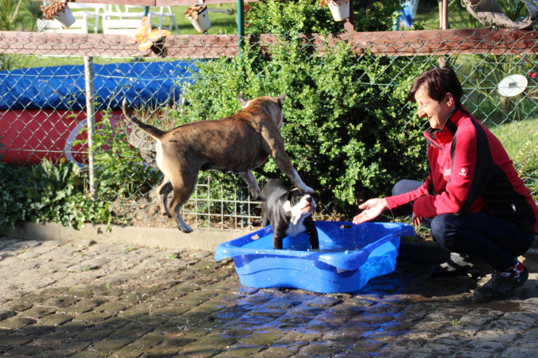 Continental Bulldog Conties Bijoux  Bijoux liebt Wasser