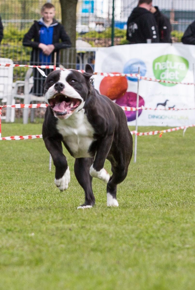 Continental Bulldog Conties Bijoux Indiana beim 3. Bullyrennen in Dortmund
