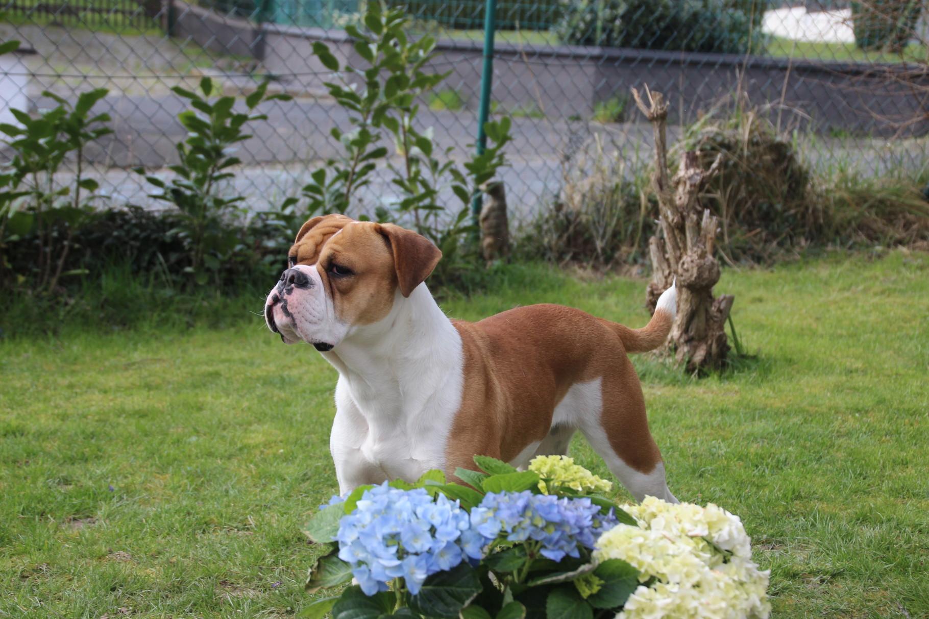 Continental Bulldog Pickwick RosaLee