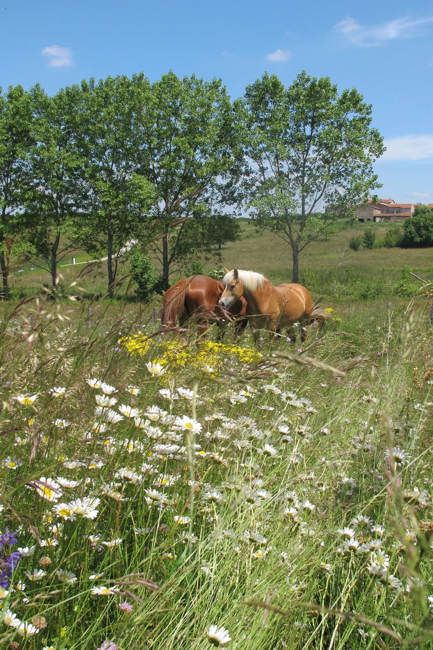 chevaux et pré en fleur