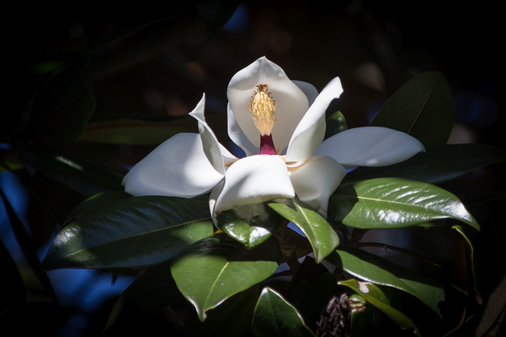 Blüte des Gummibaumes