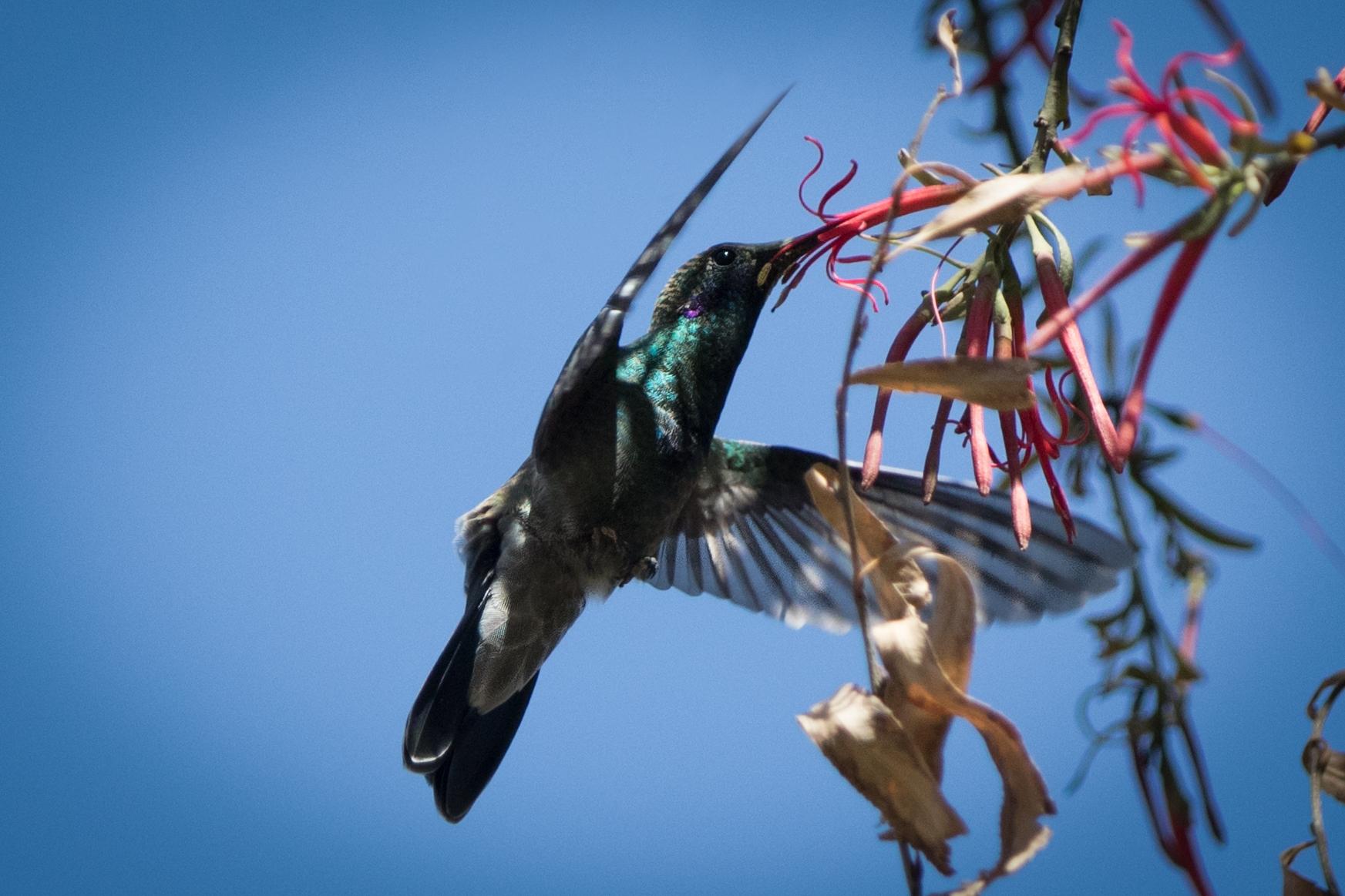 Kolibri - Purmamarca
