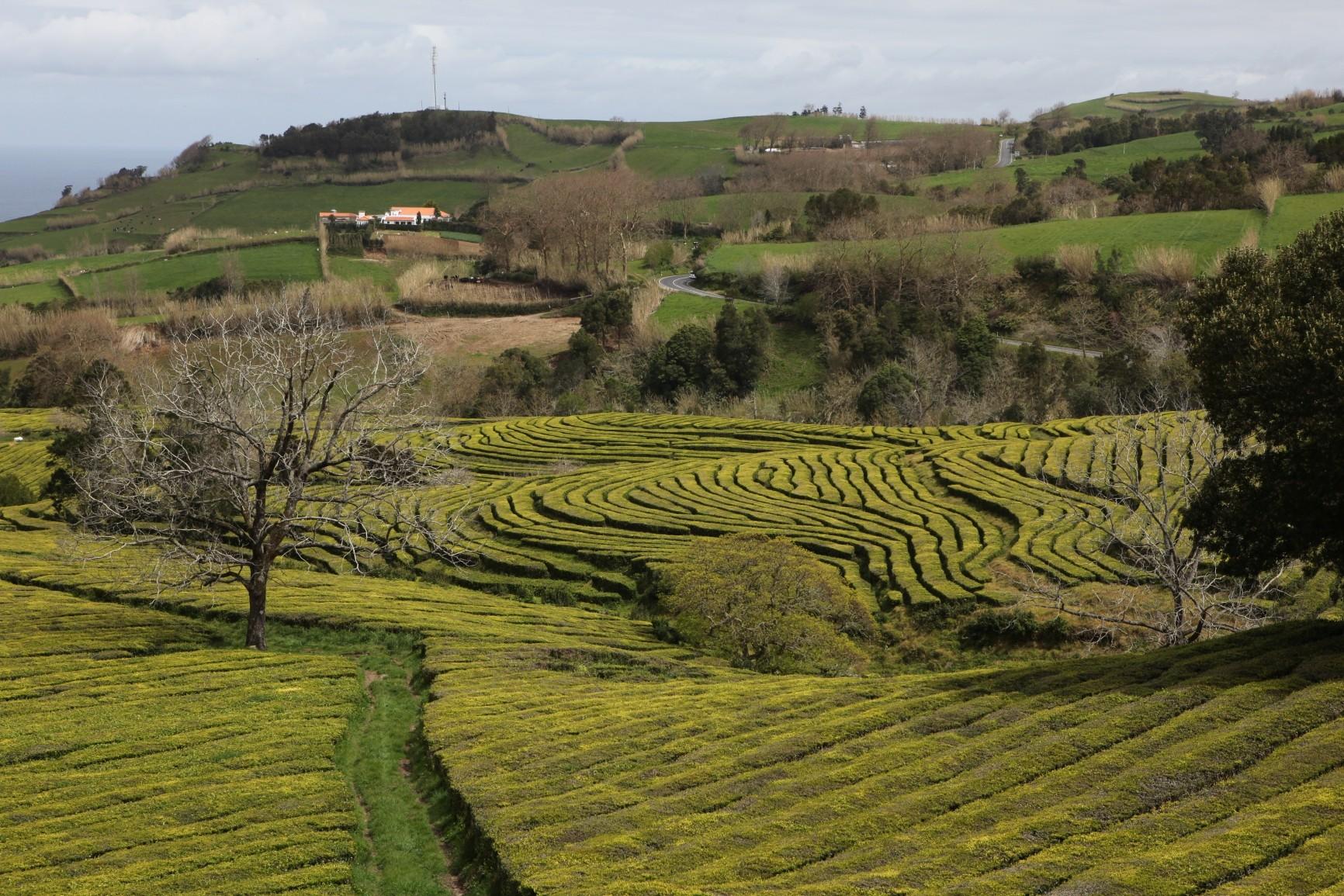 Teeplantagen Chá Gorreana