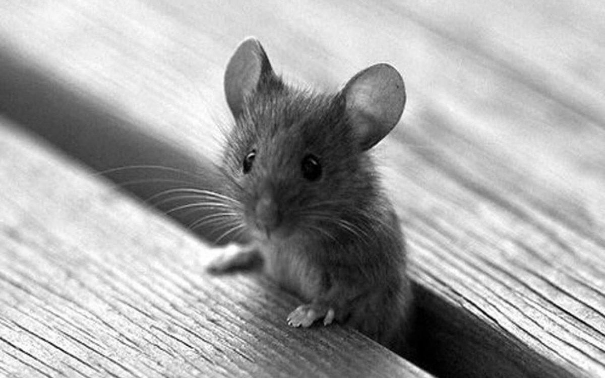 черта картинка красивого мышонка качестве