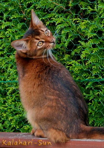 Somali-Katze wildfarben, Cattery Kalahari-Sun