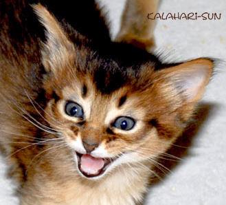Somali wildfarben, Cattery Kalahari-Sun
