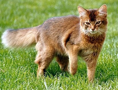 Somali-Katze wildfarben
