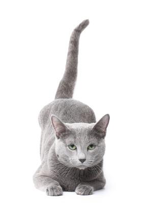 Russisch Blau Katze, Bildquelle: © Kirill Vorobyev - Fotolia.com