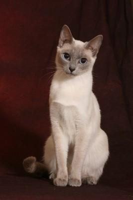 Thaikatze, Bildquelle: (c) Silvia Born by Cattery Thaikatzen-vom-blauen-halbmond