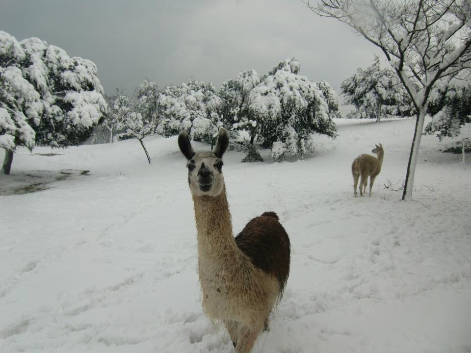 Les Lamas n'en reviennent pas