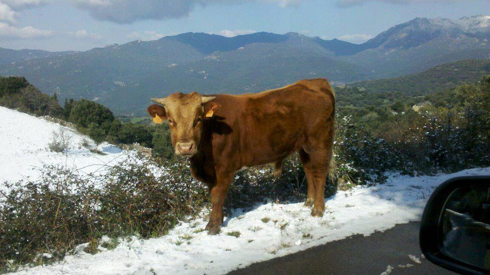 La neige n'arrête pas les vaches à Arbellara (Laurent Florin)