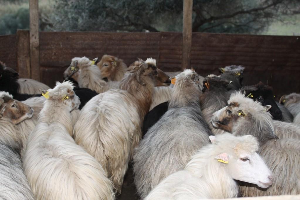 Les bergers inquiets pour leurs brebis