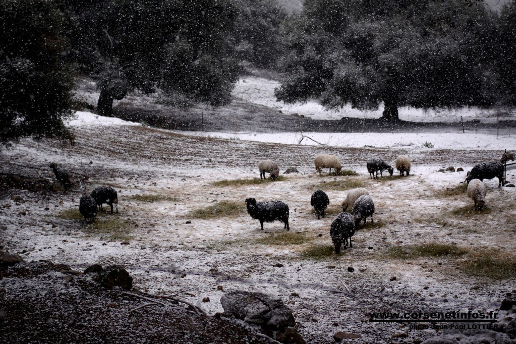 Dans la plaine d'Aregno, les éleveurs ont été contraints d'apporter du fourrage aux brebis