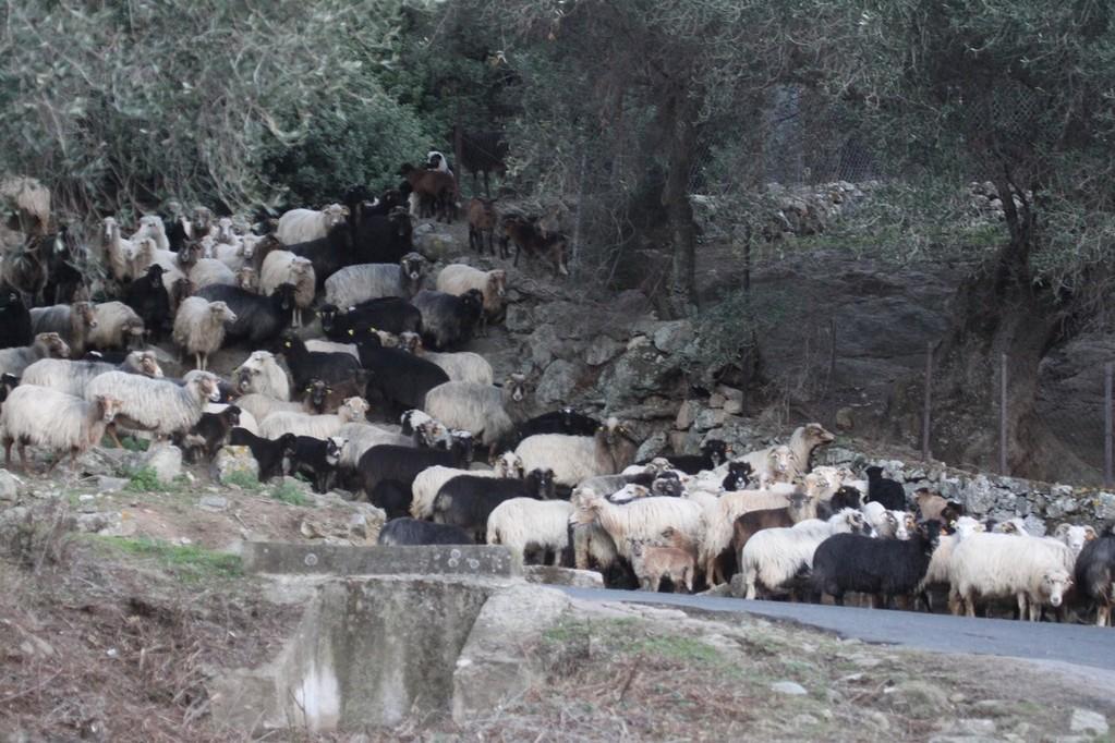 Dans la plaine d'Aregno, le troupeau de José Castellani