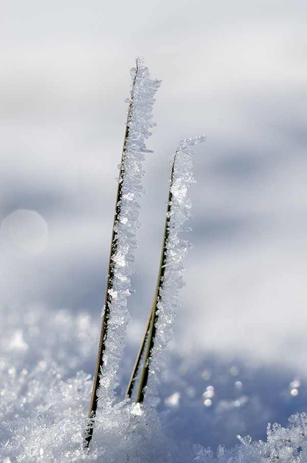 Verdorrtes Gras geschmückt mit Eiskristallen. Im Gegenlicht fotografiert, setzen kleine Lensflares zusätzliche Akzente.