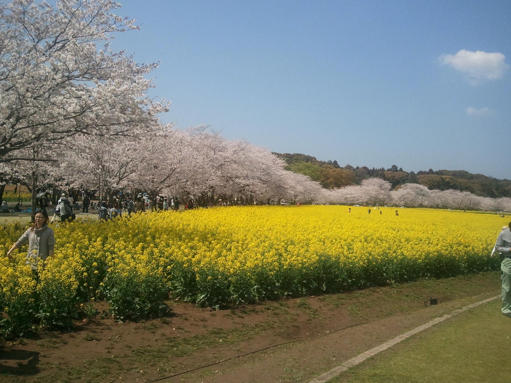 西都原古墳郡の菜の花畑