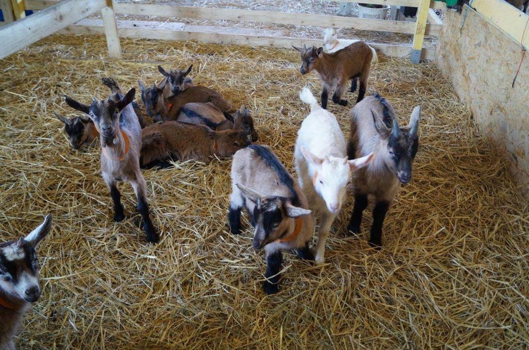 Le nouvel environnement des 50 chèvres