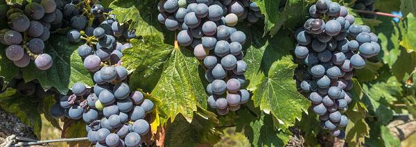 La Interprofesional del Vino de España estima una cosecha corta y se muestra optimista ante los claros signos de recuperación del mercado