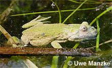 Rotbauchunke: grün gefärbtes Männchen.