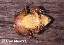 Grasfrosch: Bauchfärbung - geringe Marmorierung.