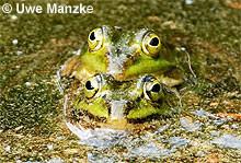 Kl. Wasserfrosch: Klammerpaar, dunkel gefärbte Tiere.
