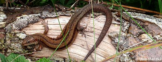 Bild 7 / 9: Reptilien - z.B. Waldeidechse