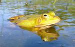 Kleiner Wasserfrosch
