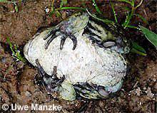 """Knoblauchkröte: Unterseite, beachte die """"Grabschaufeln""""."""