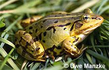 Kl. Wasserfrosch: Weibchen.
