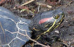 Noramerikanische Schmuck- und Zierschildkröten