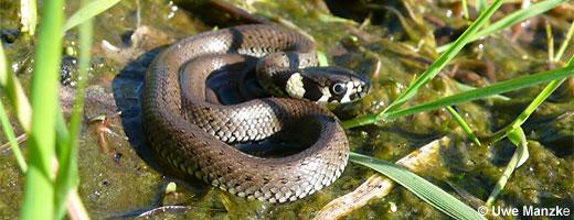 Bild 6 / 9: Reptilien - z.B. Ringelnatter