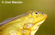 Kl. Wasserfrosch: Portrait, Männchen.