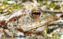 Erdkröte: Portrait, Auge.