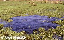 Grasfrosch: durch Drainage trockengefallene Laichballen (> 500).