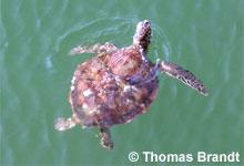 Grüne Schildkröte, (c) Thomas Brandt