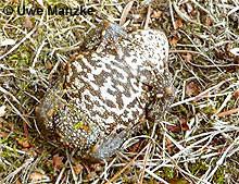 Erdkröte: Weibchen Bauchfärbung.