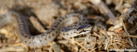 Bild 5 / 9: Reptilien - z.B. Schlingnatter