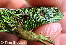 Zauneidechse: Männchen mit Zecken, an dem Tier saßen über 80 Zecken.